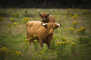 Highland Cows in Field